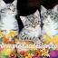 กระดาษสาพิมพ์ลาย สำหรับทำงาน เดคูพาจ Decoupage แนวภาำพ ลูกแมวน้อย 3 ตัว นั่งเล่นในกระถางไว้ปลูกต้นไม้ thumbnail 1